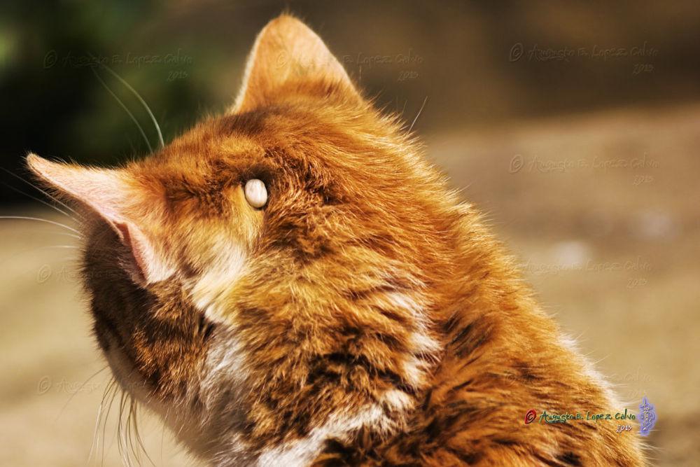Garrapata parasitando un gato. by Augusto E. López Calvo