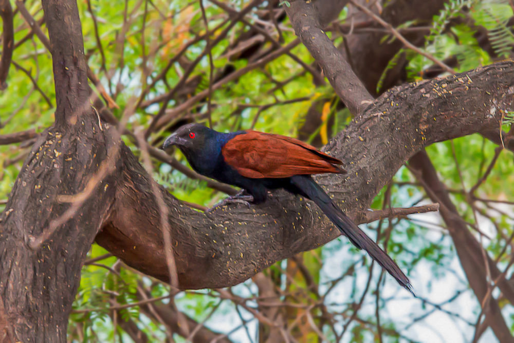 Greater Coucal by Raj Marlecha