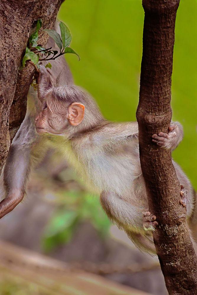 Rhesus macaque by Raj Marlecha