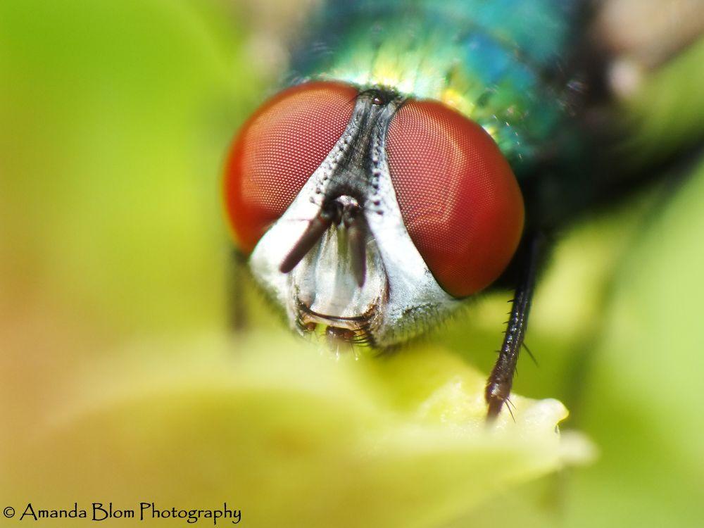 The big eyes of a Fly by Amanda Blom