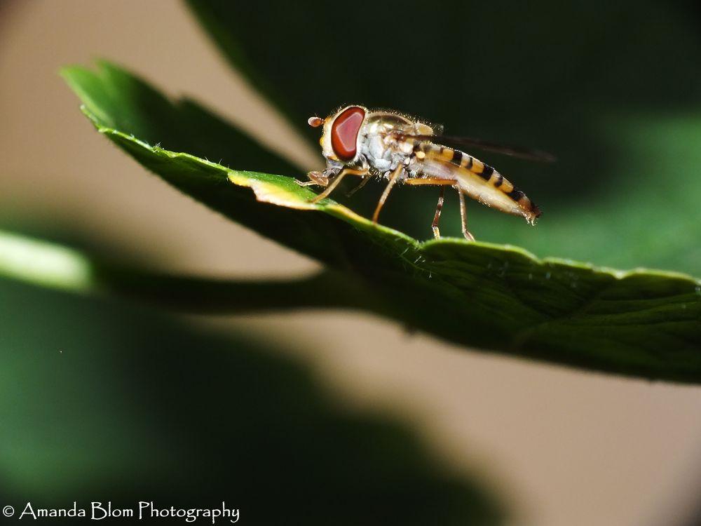Hoverfly on a leaf by Amanda Blom