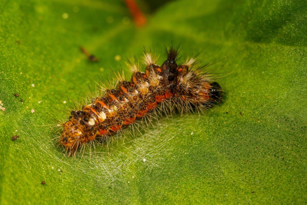 Caterpillar by Amanda Blom