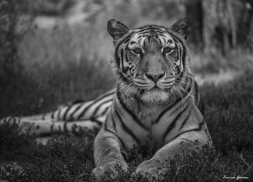 Tiger by Enrico Giacon