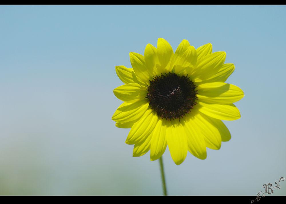 Sunflower by Bell Wang