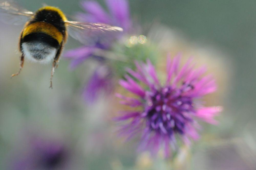 Busy Bee by dannygabay7
