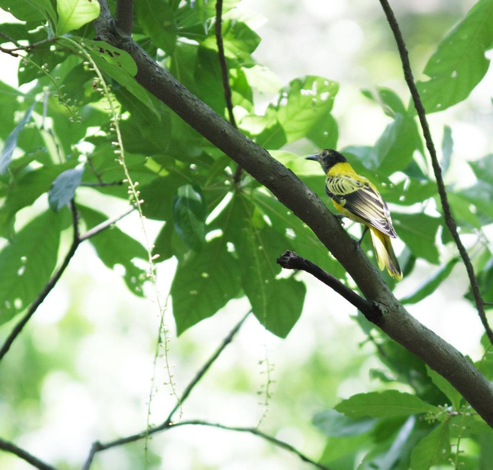 Black Hooded Oriole by mony053