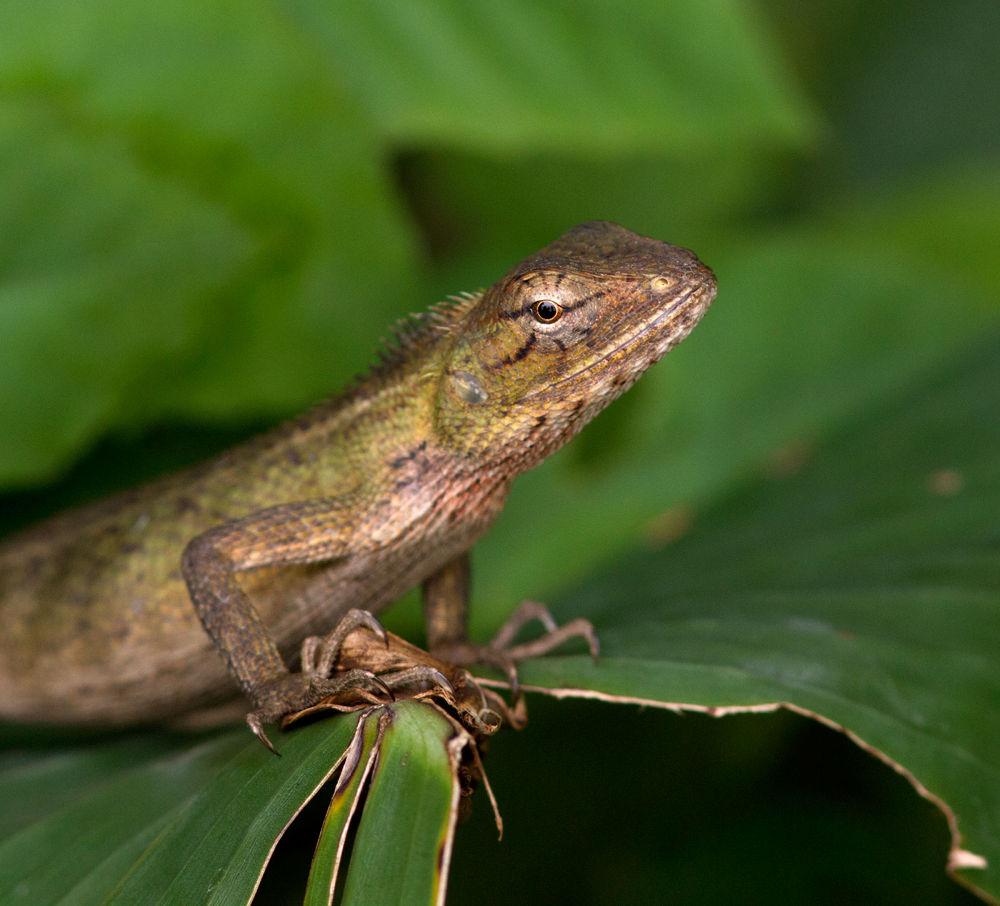 Garden Lizard by mony053