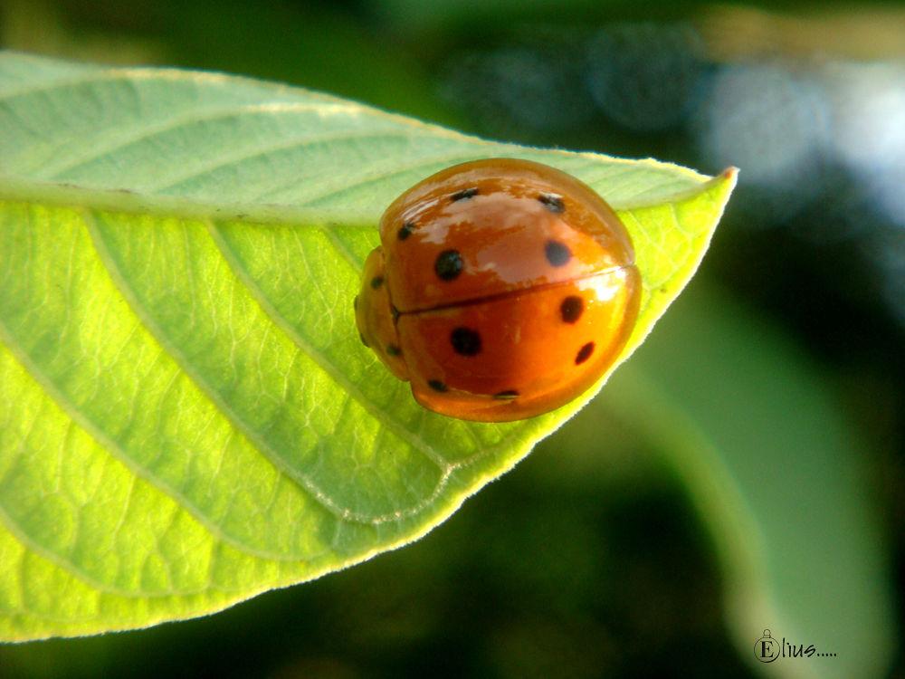 Ladybug.jpg by Mohammed Elius Chowdhury