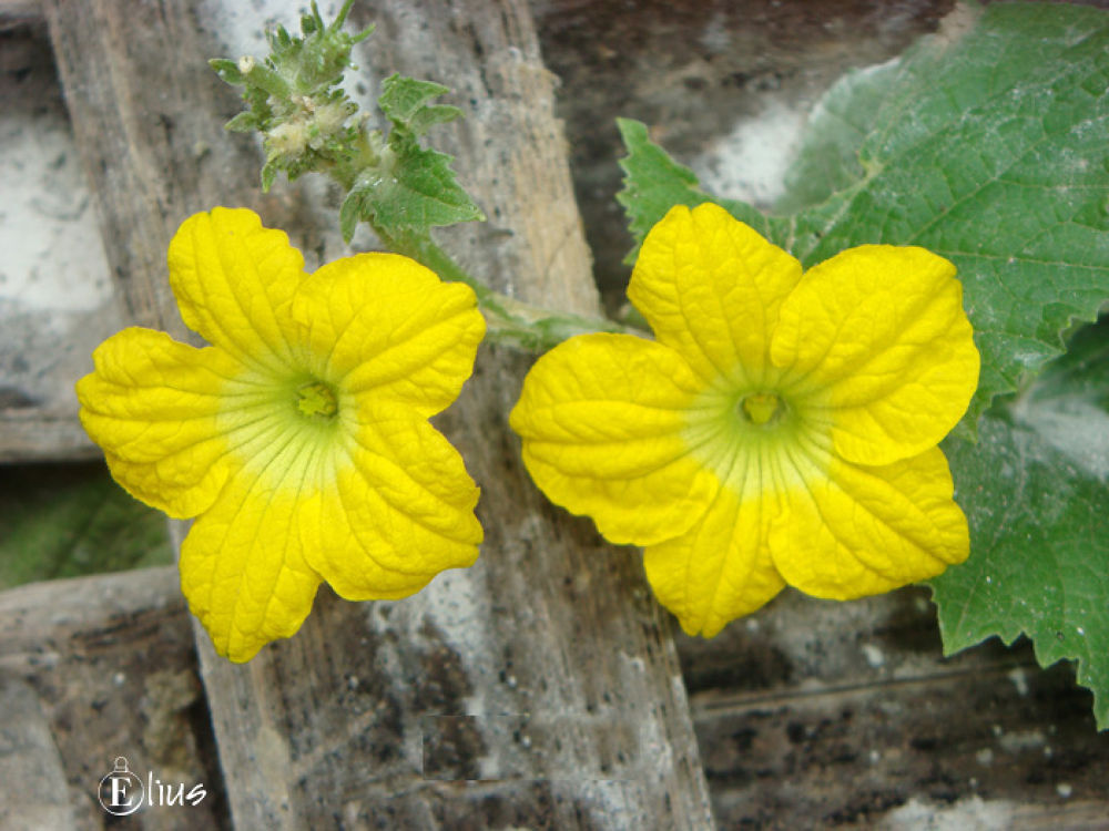 White Groud Flower.jpg by Mohammed Elius Chowdhury