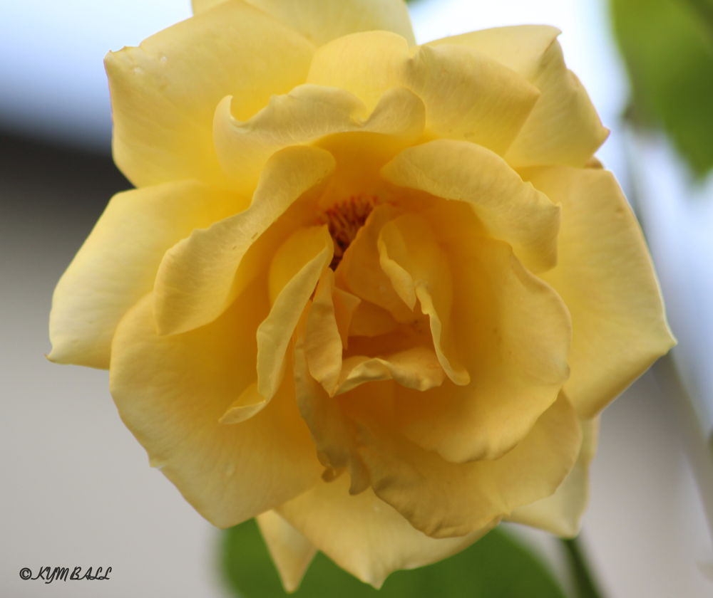 YELLOW ROSE  by kymball58