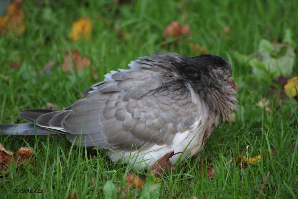 YOUNG PIGEON VICTIM OF THE STORMS by kymball58