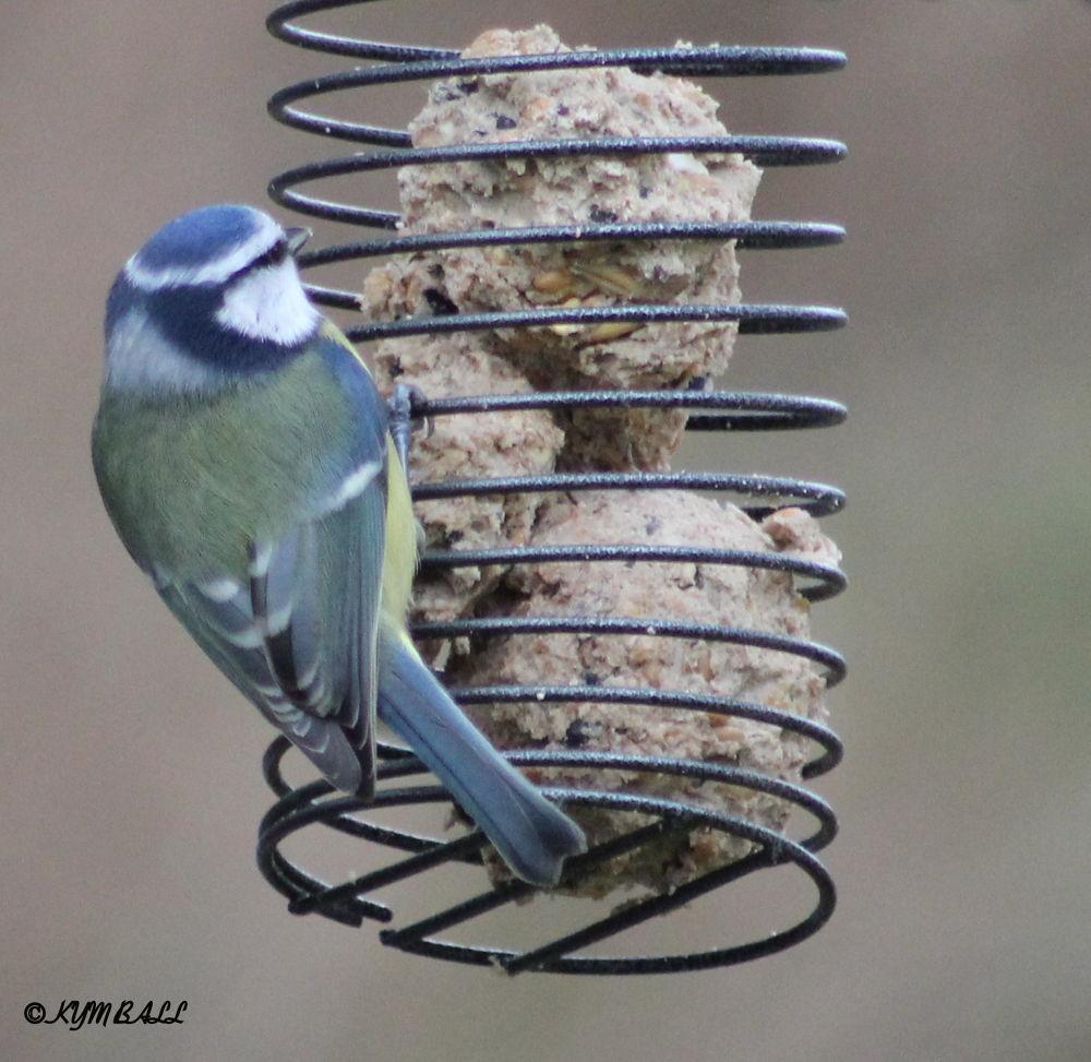 BLUE TIT ON SPIRAL FEEDER by kymball58