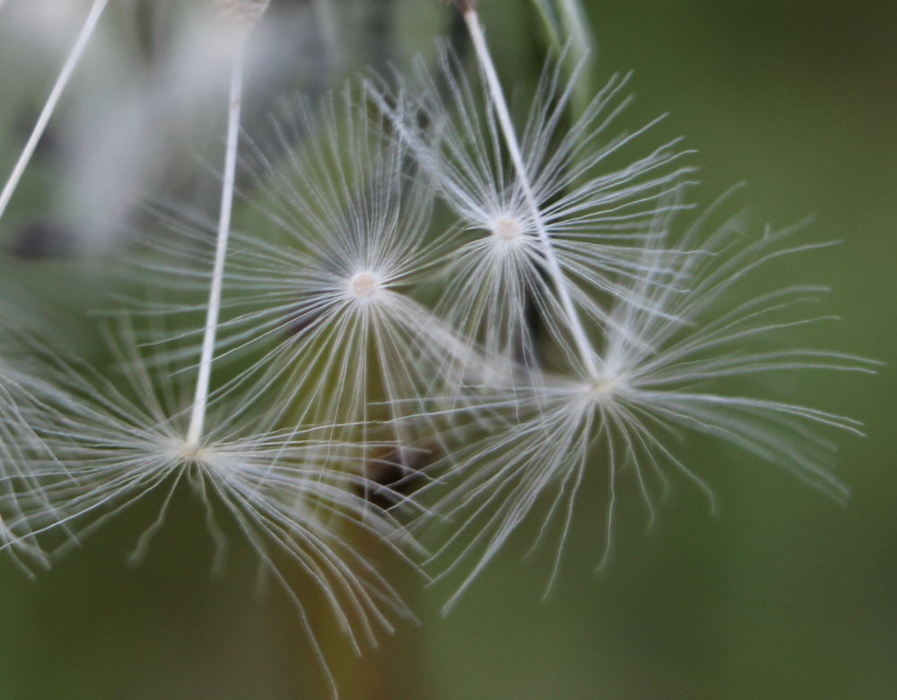 DANDELION SEEDS OR ALIENS by kymball58