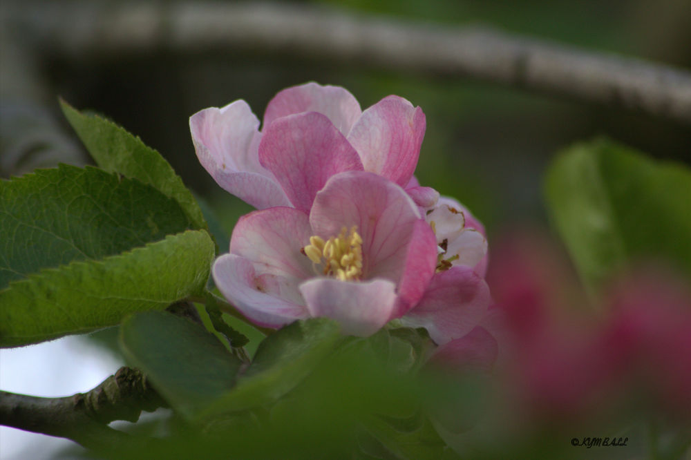 apple blossom flowers by kymball58