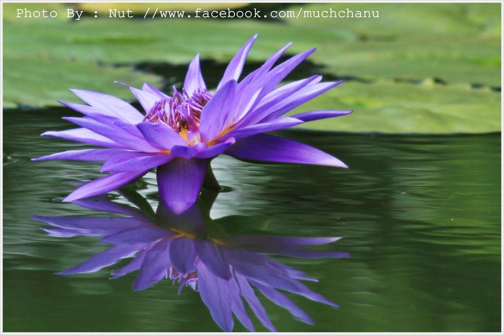 Lotus of Siam. by muchchanu