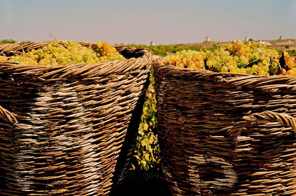 Harvest in Santorini by Grégory Hallé Petiot