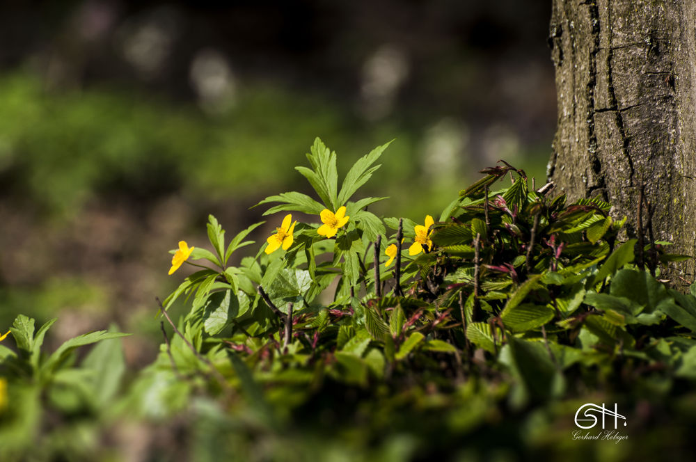 Flower in the spring by gerhardhobiger