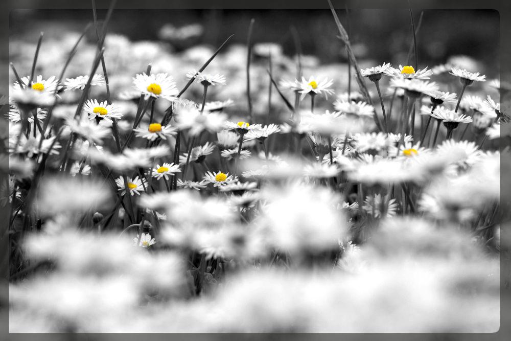 campo di margherite.jpg by Guendalina Quattrocchi