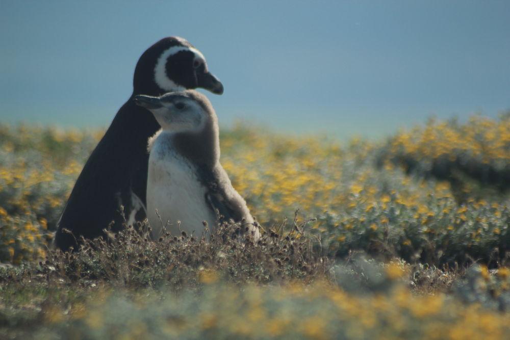 Pinguinos by ckchamorro