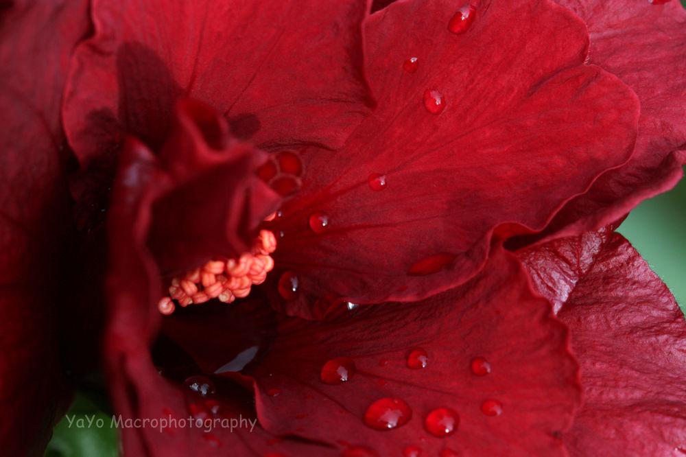 hibiscus doble rojos-bonche rojo (7)-red by guarachera