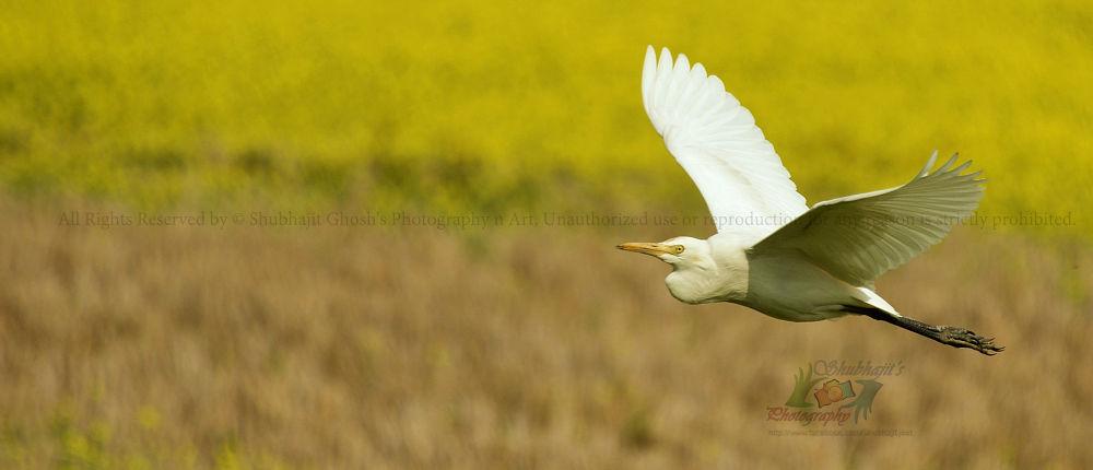 Photo in Nature #© shubhajit ghosh photography #bird #nature #wildlife #heron #sky #egret #feild