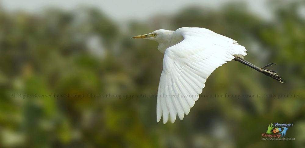 Photo in Nature #© shubhajit ghosh's photograph #bird #heron #egret #fly #sky #tree #bush #blur #wings #eyes #freedom
