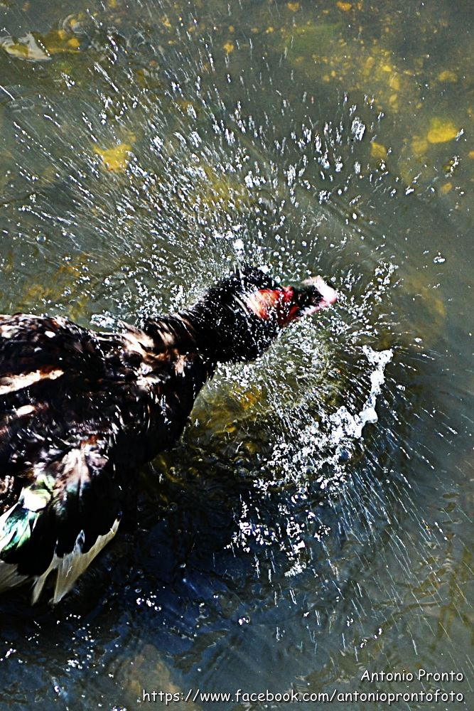 Duck and water by Antonio Pronto