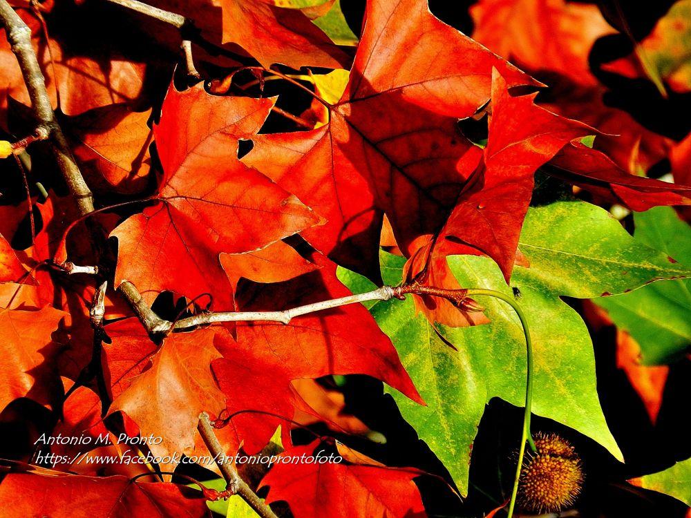 Photo in Nature #ypa2013 #nature #natureza #red #vermelho #acer #autumn #outono #wallpaper #papel de parede