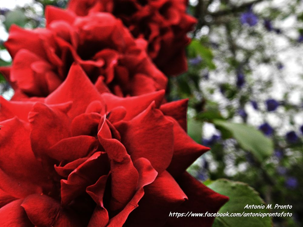three roses by Antonio Pronto