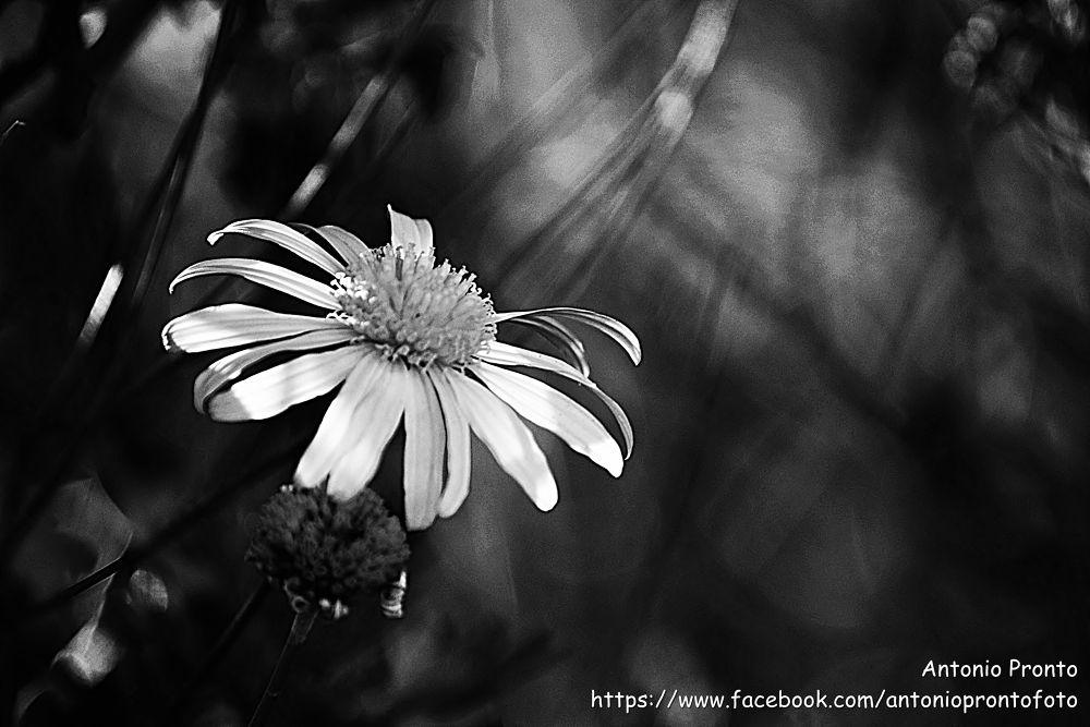 daisy by Antonio Pronto
