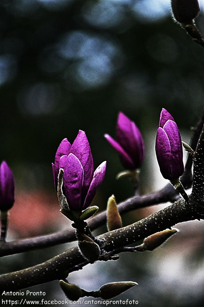 Magnolia by Antonio Pronto