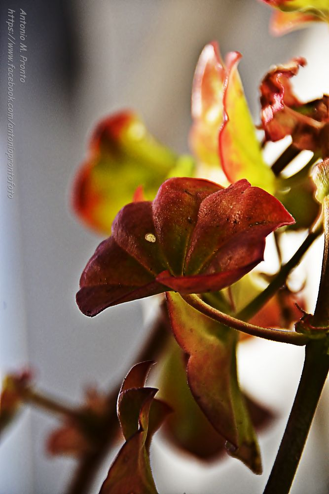 red and rose by Antonio Pronto