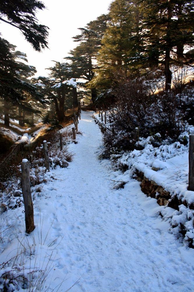 Ceder Trees Reserve in Winter, Lebanon by sakabedoyan  Jack