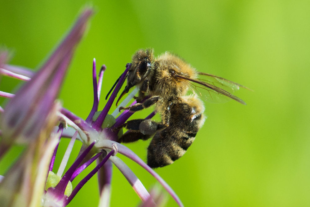 hungry bee by AndreasGrothe