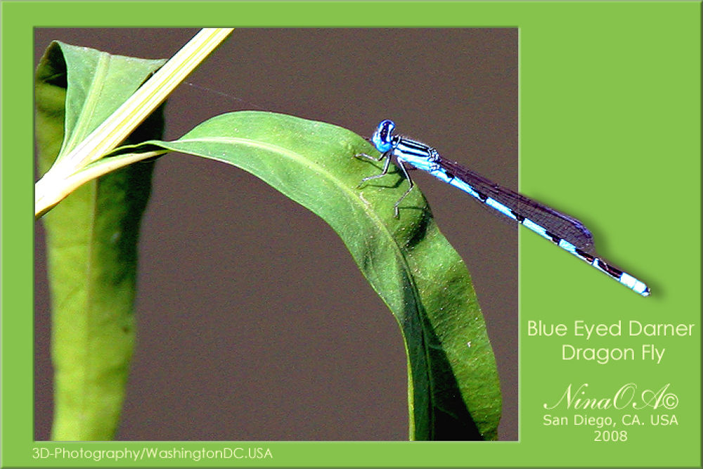 Blue Eyed Darner Dragonfly by NinaOA