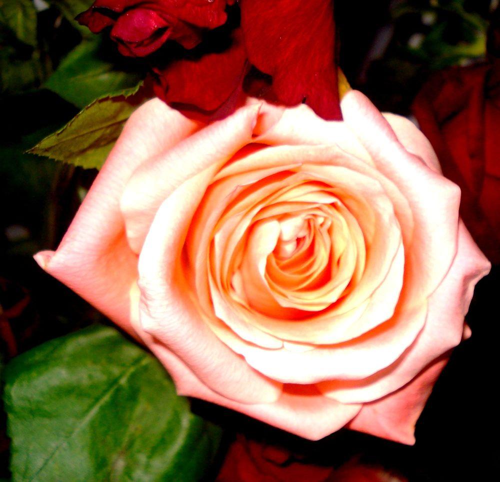 Rose by alami