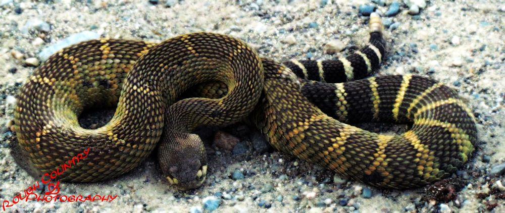 Rattle Snake by BeckyGray1971