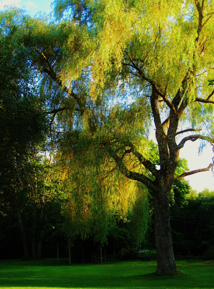 IMG_3465  WILLOW TREE  by paulcrimi178