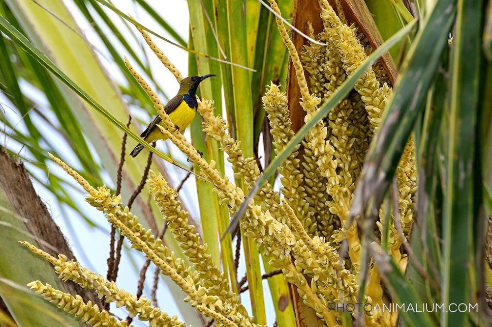 Olive-backed Sunbird (Created in Bali, Indonesia, 2013) by photoanimalium.com