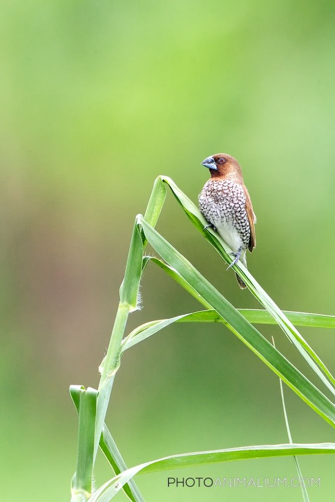 Scaly-breasted Munia (Created in Bali, Indonesia, 2013) by photoanimalium.com