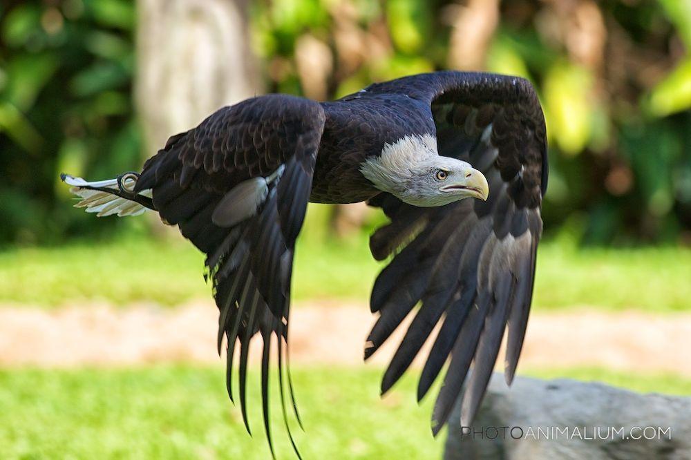Bald Eagle (Created in 2013) by photoanimalium.com