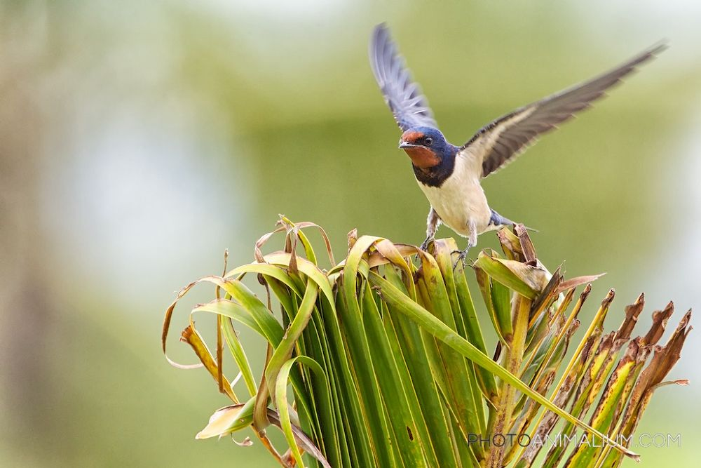 Barn Swallow (Created in 2013) by photoanimalium.com