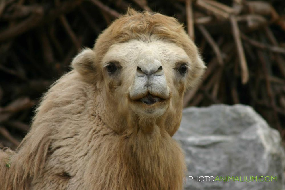A Camel Look by photoanimalium.com