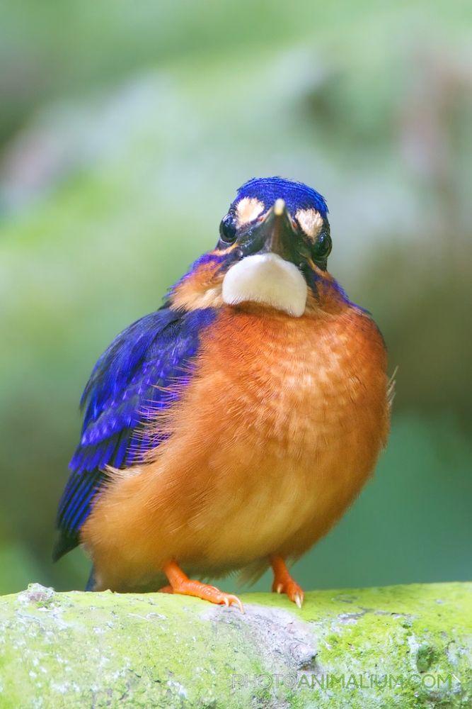 Photo in Animal #ypa2013 #kingfisher