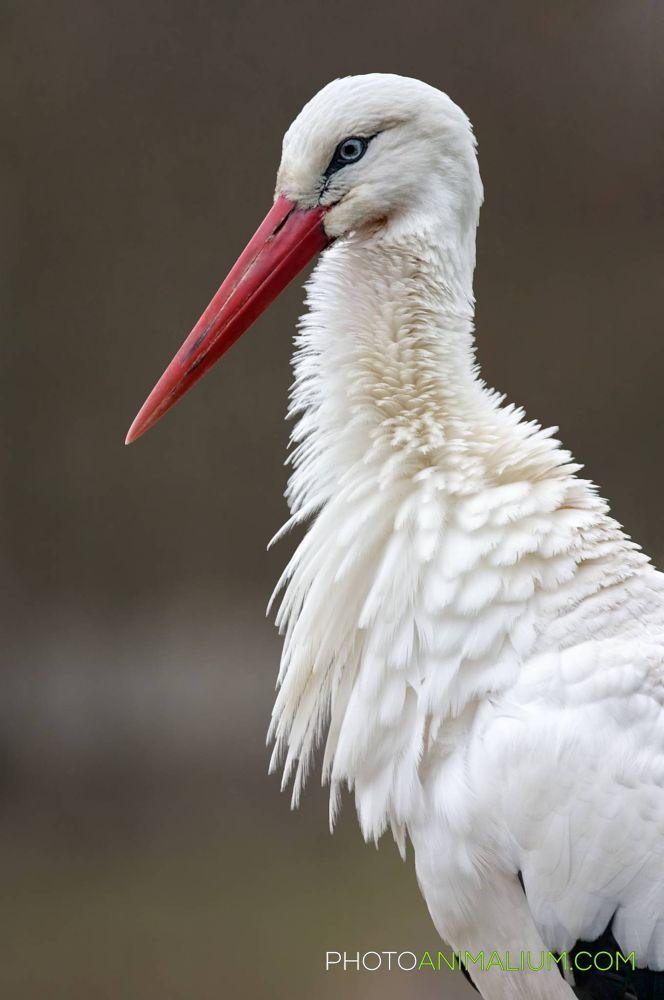 """""""Angry Stork"""" (White Stork) by photoanimalium.com"""