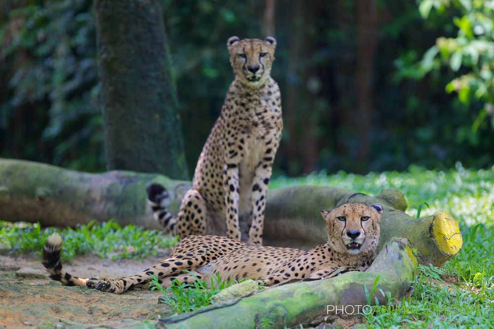 """Waiting together"" (Cheetah) by photoanimalium.com"