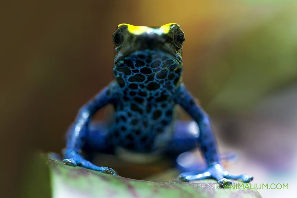 """""""Strong Minded"""" (Dyeing Poison Frog) by photoanimalium.com"""