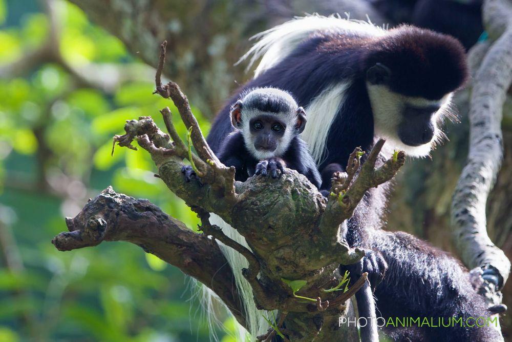 """Wow! Mummy, the world around us is Awesome!"" (Black-and-white Colobus Monkey) by photoanimalium.com"