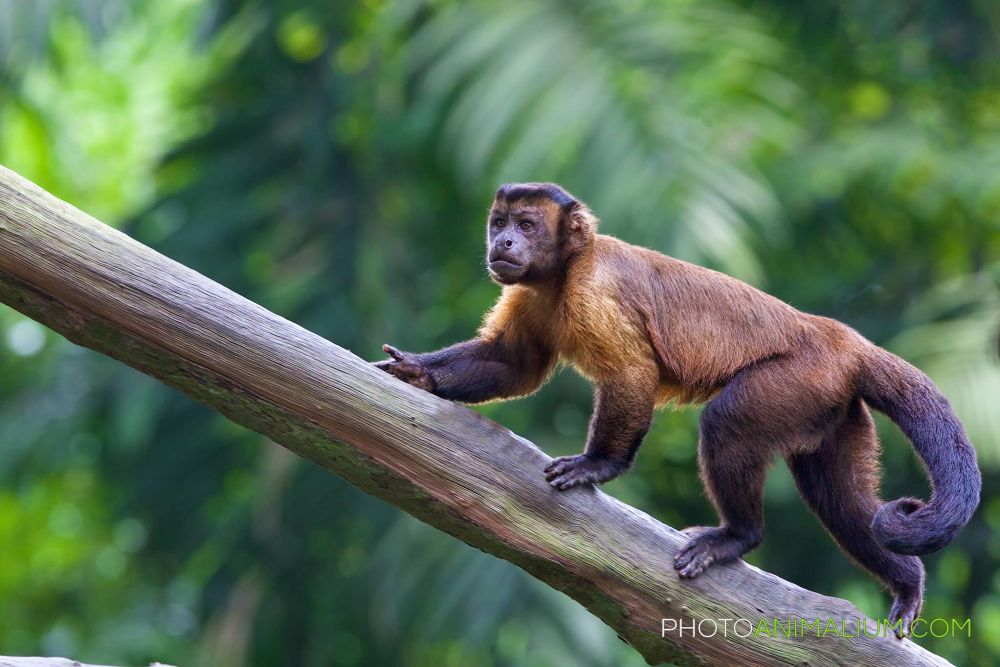 """Higher and higher"" (Brown Capuchin) by photoanimalium.com"