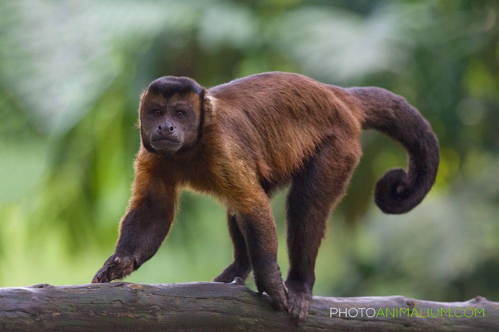 """Strolling"" (Brown Capuchin) by photoanimalium.com"